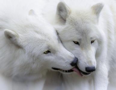 003_901_Ulrike-Unterbruner_zaertliche-Polarwoelfe