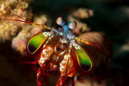 004_910_Johann-Hinterdorfer_Mantis-Shrimp